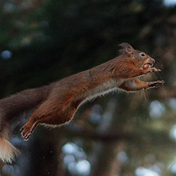 Flying Squirrel Control