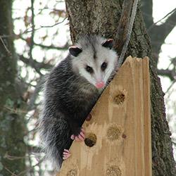 possum perched