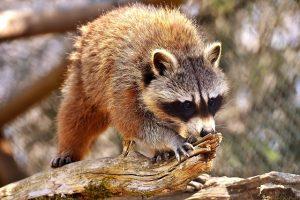 Raccoon in Dallas, Texas